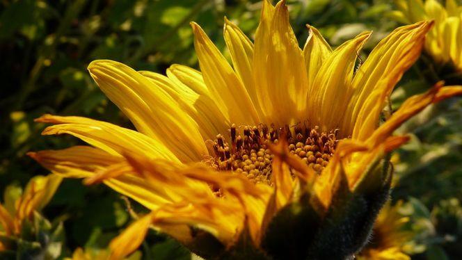 Blumen, Sonnenblumen, Nahaufnahme, Natur, Regensburg, Fotografie