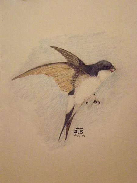 Singvogel, Vogel, Mehlschwalbe, Schwalbe, House martin, Zeichnungen