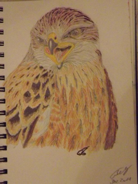 Greifvogel, Vogel, Tiere, Buntstiftzeichnung, Rot, Skizze
