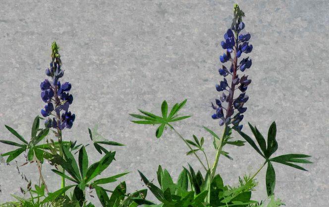 Blumen, Lupinen, Blätter, Digital, Digitale bearbeitung, Digitale kunst