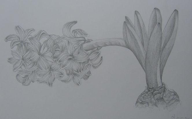Frühling, Hyazinthen, Zeichnung