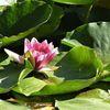 Rose, Teich, Blüte, Weiher
