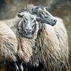 Schaf, Schafwolle, Hausschaf, Wolle