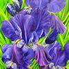 Iris barbata, Lilie, Violett, Blüte