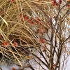 Frühlingserwachen............. - winter rot blüte winterblüher zaubernuss
