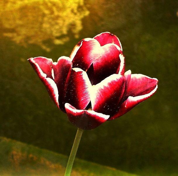 Frühling, Rot, Blumen, Tulpen, Fotografie