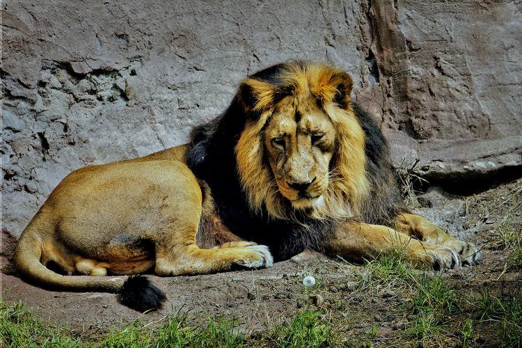 Löwenzahn, Löwe, Fotografie