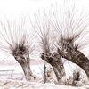 Schnee, Weiden, Kopfweide, Baum