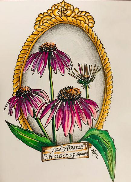 Sonnenhut, Blumen, Heilpflanze, Echinacea, Ccopicmarker, Zeichnungen