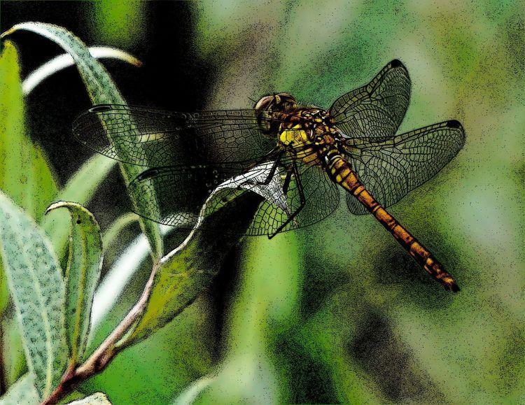 Flügel, Libelle, Orange, Grün, Fotografie