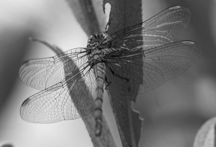 Blätter, Schwarz weiß, Libelle, Fotografie