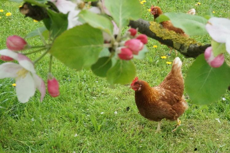 Blühen hühner, Blüte, Frühling, Fotografie