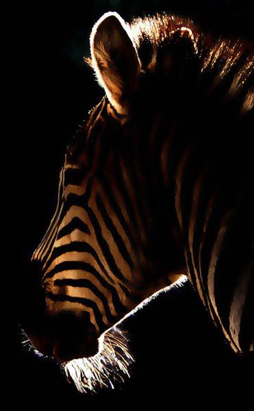 Fotografie, Zebra