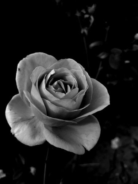 Schwarz, Weiß, Blumen, Rose, Fotografie