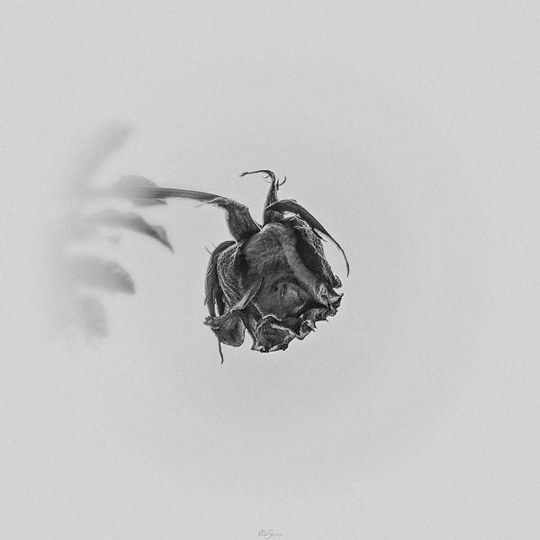 Pflanzen, Schwarzweiß, Fotografie, Verwelken, Mono, Welk