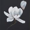 Blüte, Schwarz weiß, Blumen, Magnolien