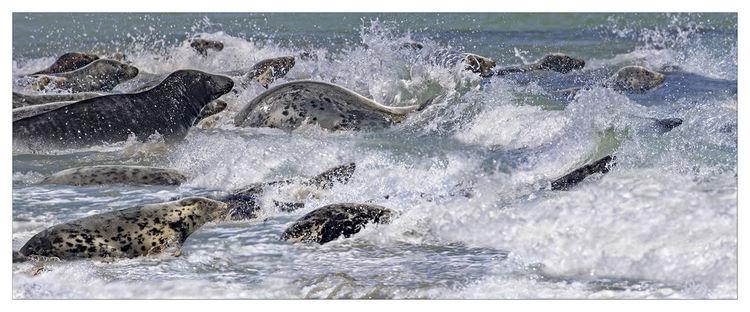 Wasser, Schwimmen, Strand, Küste, Tiere, Helgoland