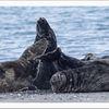 Helgoland, Raubtier, Meerestiere, Schwimmen