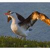 Albatros, Vogel, Fliegen, Helgoland