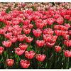 Tulpen, Niederlande, Malen, Holland