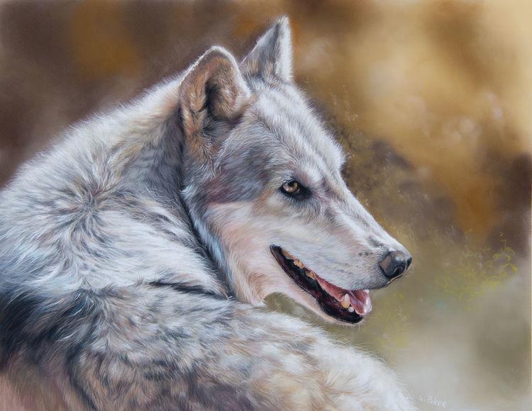 Raubtier, Wolf, Sonne, Fell, Licht, Grau
