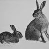 Ostern, Hase, Zeichnungen