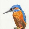 Wachsam, Eisvogel, Baumstumpf, Zeichnungen