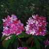 Rhododendron, Üppig, Malerei, Garten