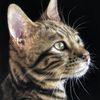 Tierportrait, Pastellmalerei, Katze, Bengal